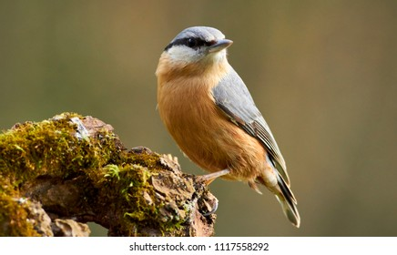 Nuthatch portraits in autumn