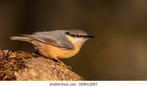 Nuthatch relaxing in the sun on a branch