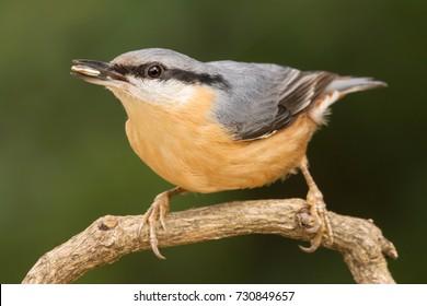 Nuthatch, Sitta europaea, Eurasian nuthatch