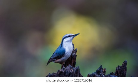 The nuthatch (Sitta europaea) on the spot of yellow autumn leaves in the background