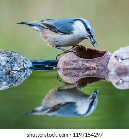 The nuthatch (Sitta europaea) with a sunflower seed in the beak at the pond