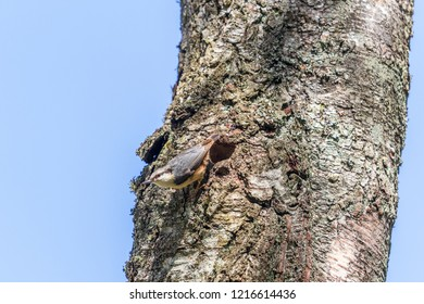 Nuthatch sitting at his nesting holes in a trunk