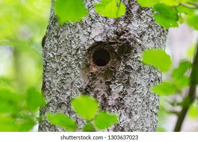 Nuthatch sitting inside the hole in the tree