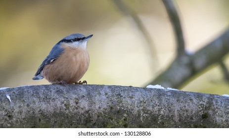 Nuthatch is sitting on a branch