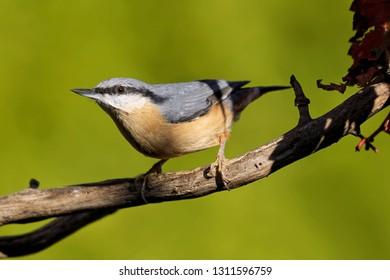 nuthatch sitting on branch