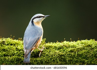 nuthatch sitting on a tree with moss