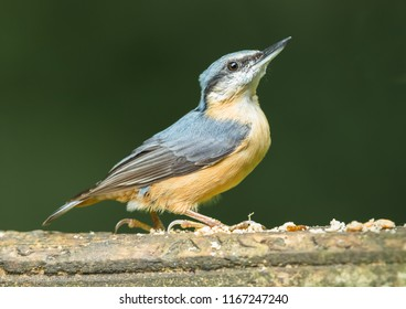 Nuthatch, small garden and woodland bird. Scientific name: Sitta, perched on a bird feeding table and looking to the right with head and beak pointing up.  Dark green background. Horizontal.