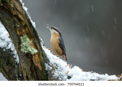 NUTHATCH IN THE SNOW AND SLEET FEEDING ON PEANUTS