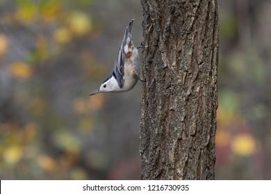Nuthatch upside down in tree
