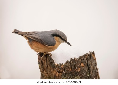 Nuthatch in wintersnow