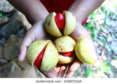 Nutmeg fruit in hands. Nutmeg is a spice used for cooking and medicinal purposes.