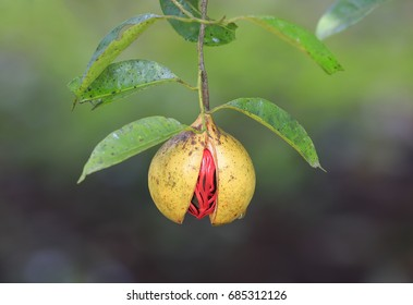 Nutmeg in green background on a tree
