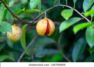 Nutmeg hanging on  a Nutmeg  Tree, Kerala, India