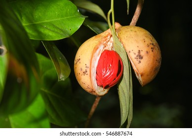 Nutmeg many isolated. Sectional view of ripe colorful red nutmeg fruit, seeds Kerala India. spices known as pala in Indonesia and red mace from tree Myristica Banda Islands Moluccas Spice Islands