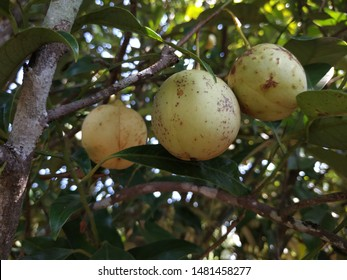 Nutmegs fruit that hang on the branches of nutmeg trees