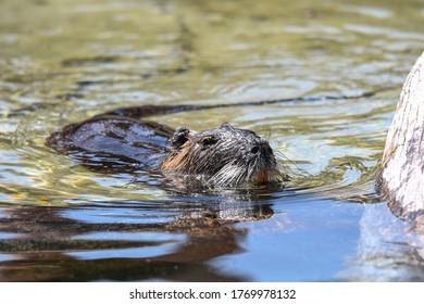 Nutria as an adult and minor enjoing life in the water - Shutterstock ID 1769978132