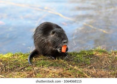 A nutria or coypu is enjoying some carrot among green grass.