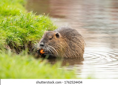 Nutria eating carrot in the river