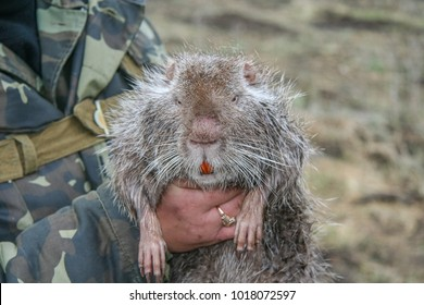 "Nutria (from the ""nutria-lutria"", ""nutria"", the letter ""otter""), or koipu, or swamp beaver (Latin Myocastor coypus is the mammal of the rodent order, the only species of the family of nutri"