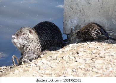 nutria or marsh beaver with cubs on the shore