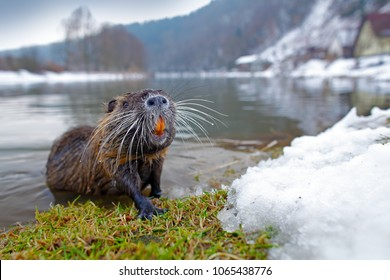 Nutria in river habitat. Nutria, Myocastor coypus, winter mouse with big tooth in the snow, near the river. Wildlife scene from nature.