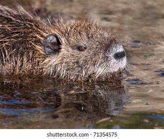 Nutria rodent in ditch water