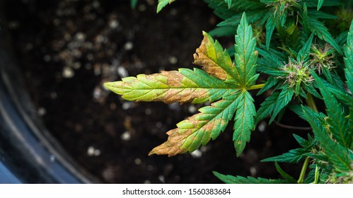 Nutrient Deficiencies In Marijuana Plants, yellow cannabis leaf,