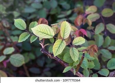 Nutrient deficiency in roses such as lack of iron recognizable by the chlorotic leaves, copy space, selected focus, narrow depth of field