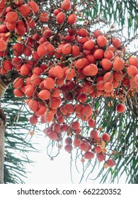 nuts of Areca catechu
