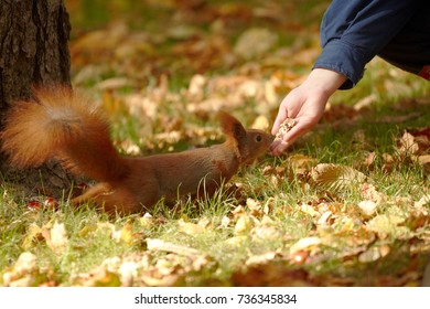 Nuts feeding of red squirrel. Close up.