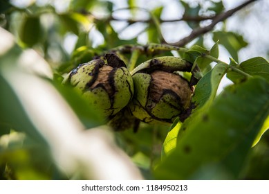 Nuts on the tree - Shutterstock ID 1184950213