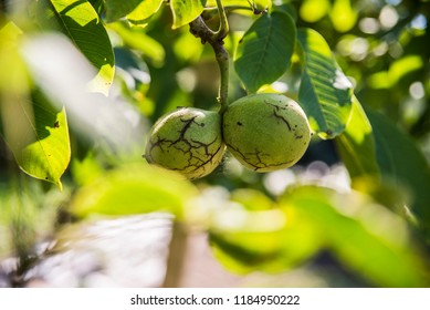 Nuts on the tree - Shutterstock ID 1184950222