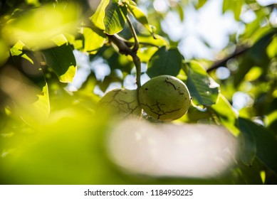 Nuts on the tree - Shutterstock ID 1184950225