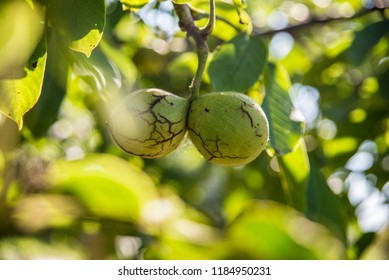 Nuts on the tree - Shutterstock ID 1184950231