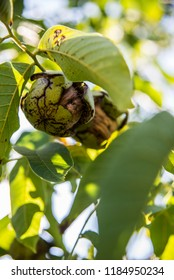 Nuts on the tree - Shutterstock ID 1184950234
