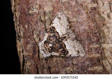 Nut-tree Tussock (Colocasia coryli) moth sitting on tree bark