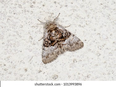 Nut-tree Tussock moth ( Colocasia coryli ) in the family Noctuidae. Sitting on a white wall.