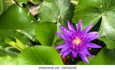 Nuture Purple Lotus