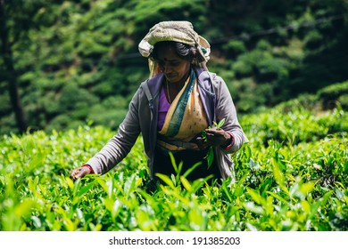 NUWARA ELIYA, SRI LANKA - 20 Jan 2014 : Female tea picker in tea plantation in Nuwara Eliya on January 20 2014. Directly and indirectly, over one million Sri Lankans are employed in the tea industry.