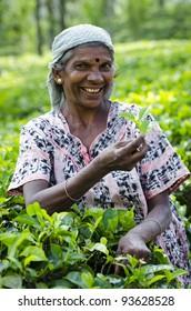 NUWARA ELIYA, SRI LANKA - DECEMBER 8: An unidentified smiling Indian woman picks in tea leaves between green tea bushes on December 8, 2011 in Nuwara Eliya, Sri Lanka.
