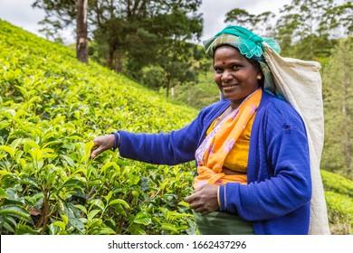 NUWARA ELIYA, SRI LANKA - FEBRUARY 15, 2020: Woman tea picker in tea plantation in Nuwara Eliya, Sri Lanka