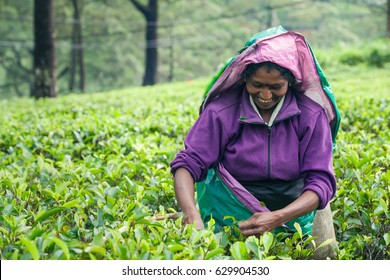 NUWARA ELIYA, SRI LANKA - July 25, 2016: Woman working on Sri Lankan tea plantation. A woman from Nuwara Eliya is picking tea leaves at a plantation in Sri Lanka.