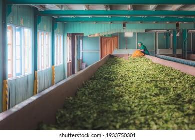Nuwara Eliya, Sri Lanka - March 20 2019: A Sri Lankan factory worker gathers fresh tea leaves at a Ceylon tea plantation near Nuwara Eliya in hill country of Sri Lanka.