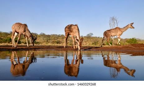 Nyala in Africa