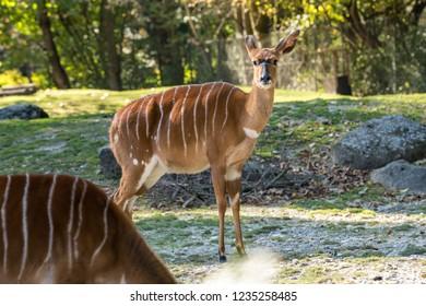 Nyala antelope (Nyala angasi) in the zoo