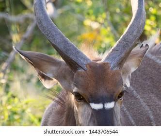 Nyala antelope closup of eyes
