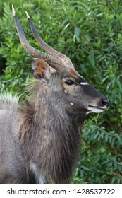 Nyala Antelope Male with Shaggy Fur and Curved Horns