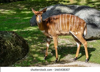 Nyala Antelope - Tragelaphus angasii. Wild life animal.