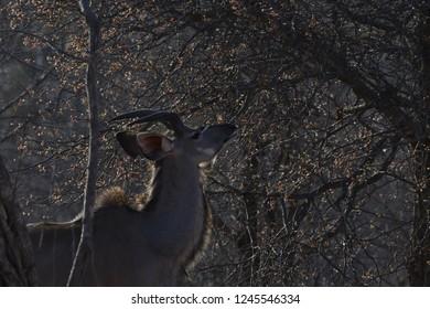 Nyala Antelope Wild