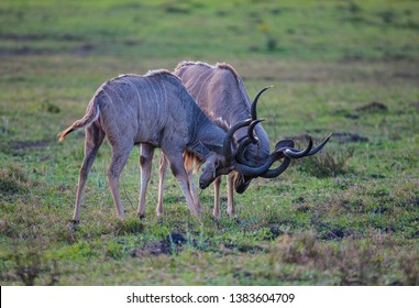 Nyala antilope (Tragelaphus angasii) is an  important species of antelope in Africa and they sometimes fight during mating periods.